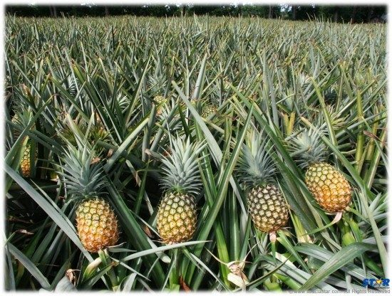 Could it be the answer to our economic problems is pineapples?