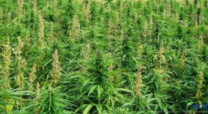 The Royal Saint Lucia Police Force continues to eradicate a number of marijuana plantations across the island.