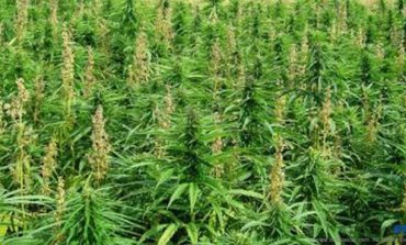 Anse La Raye Police clear cannabis again