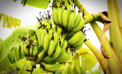 WINFRESH: St. Lucia's banana exports in critical and urgent need of help