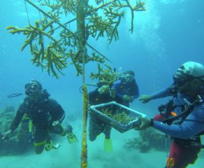 Sandals foundation comes  out for coral restoration